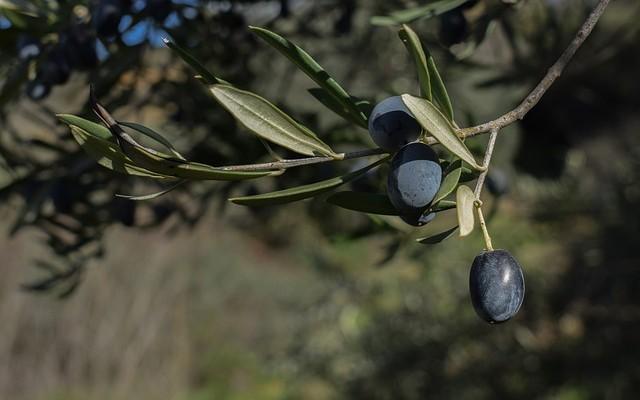 Emprendedores de Jaén contra el robo de aceitunas